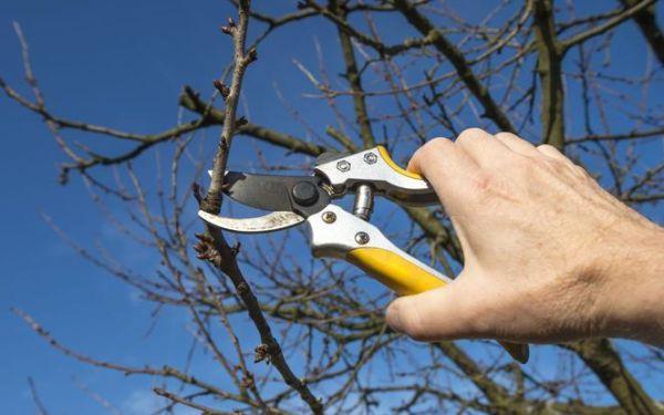 Luty w ogrodzie: zimowa pielęgnacja drzew i krzewów w sadzie (bielenie, cięcie)